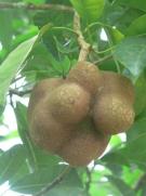 Parartocarpus venosus
