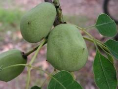 Marula plum
