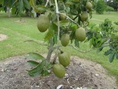 Saba Nut (Pachira aquatica)