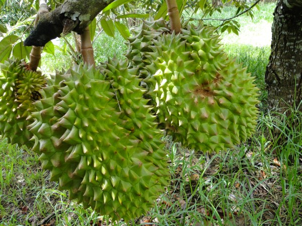 Durians in the far north