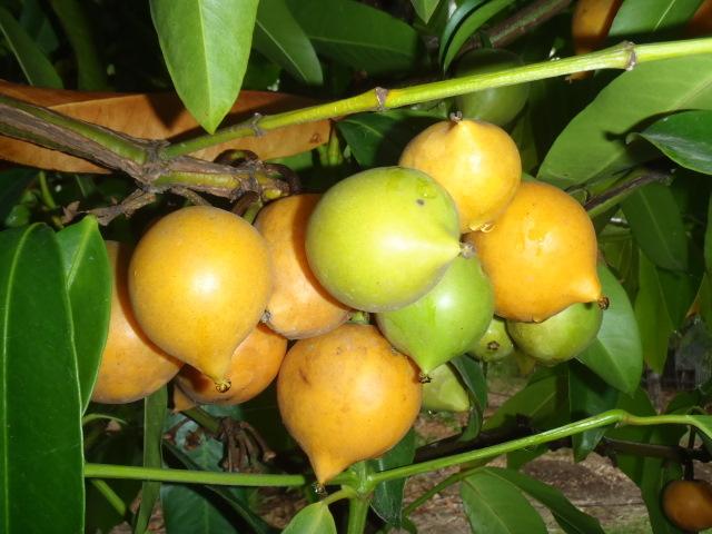 Rare Fruit Australia » Eat your landscaping » Yellow Mangosteen