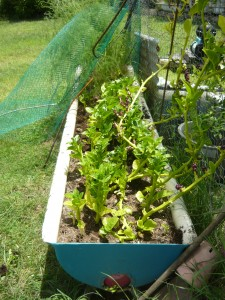 spinach growing in trough