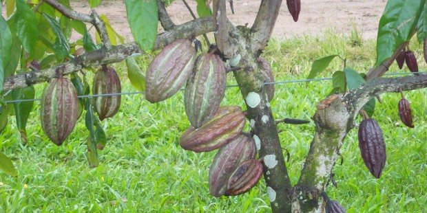 Productive trellised cocoa tree