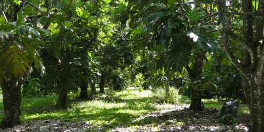 Breadfruit rows in our orchard